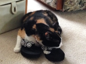 "Our cat ""Callie"" has a severe shoe addiction. Here she found a pair of sandals and is trying them on for size."